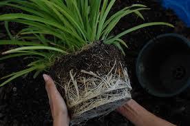 Hora de trocar de vaso! Muitas raízes, precisamos de mais espaço.