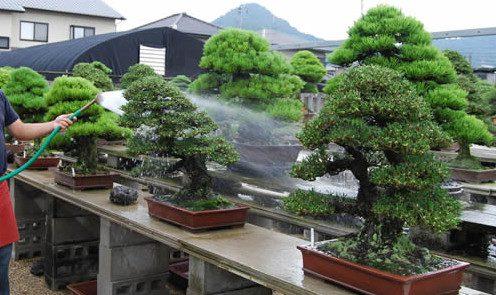 Rega de um Bonsai mantido ao ar livre.