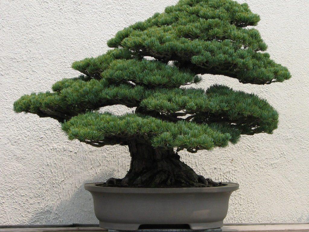 bonsai junipeero