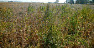 Plantação de soja infestada por plantas daninhas.